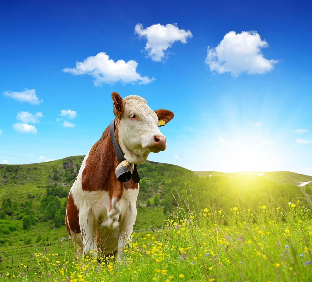 46298377 - cow in the meadow